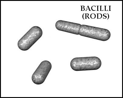 Morphology of bacterial cells medium bacilli medium bacilli ccuart Choice Image
